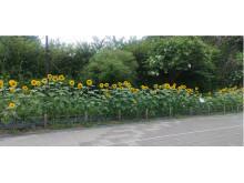 ひまわりの種は東日本大震災復興支援に!神奈川・保土ヶ谷公園の花壇ボランティア活動