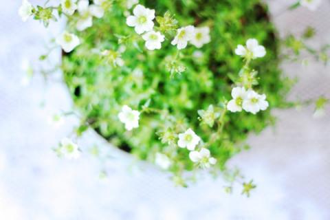 このような小さなお花がイメージ♪
