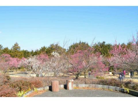 約200品種480本の梅が織りなす「梅まつり」が小田原で開催中
