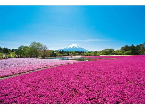 芝桜の花と富士山が織りなす絶景!「2019富士芝桜まつり」開催