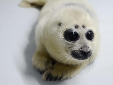 サンシャイン水族館でバイカルアザラシの赤ちゃんをお披露目