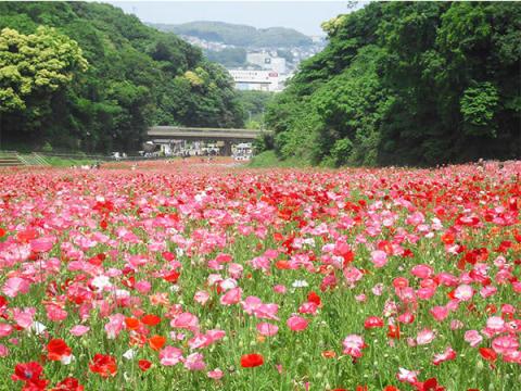花摘み大会も!横須賀で約100万本の「ポピーまつり」開催中