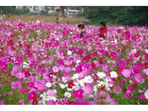 約100万本の花畑!横須賀で「コスモスまつり」開催