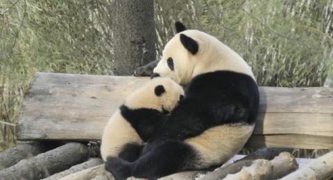 BS日テレ『ジャイアントパンダ』3時間特番が決定 中国での野生化プロジェクトに密着