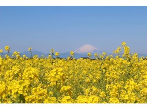 10万本のナノハナと富士山の絶景!長井海の手公園で「菜の花まつり」開催