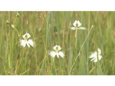 自然豊かな徳島県三好市の黒沢湿原では「サギソウ」がいま見頃!