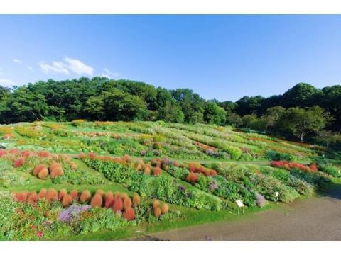 コスモスやジニアが満開!「秋の里山ガーデンフェスタ2020」大花壇が見頃に