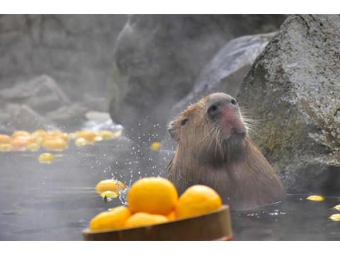 今年も癒されよう!伊豆の冬の風物詩「元祖カピバラの露天風呂」開催