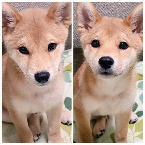 """柴犬の""""好き好きアピール""""に飼い主さんがKO負け、かまってもらえた時の表情が分かりやすすぎると反響"""