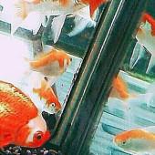 金魚についていろいろと。