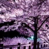 誠の旗と桜
